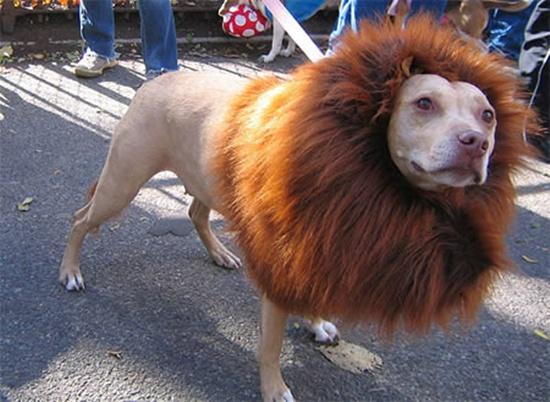 Dắt… sư tử đi dạo?