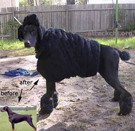 Cún cừu đen.